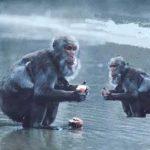 Centésimo macaco